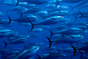 tuna-group